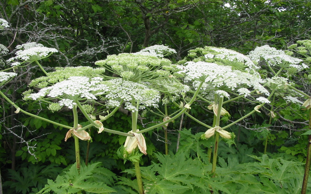 Giant Hogweed: A painful problem