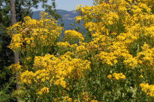 Mimulus-Tansy-Ragwort-bloom-big