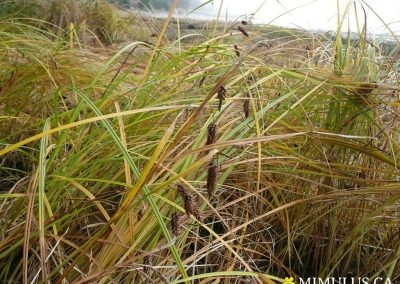 Carex-lyngbyei-Lyngbys-sedge-2-October-web