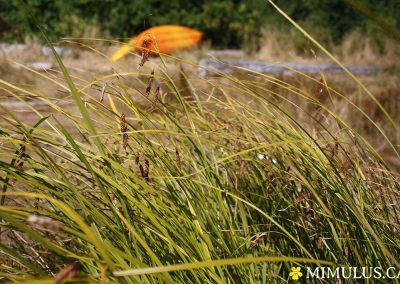 Carex-lyngbyei-lyngbys-sedge-August-web