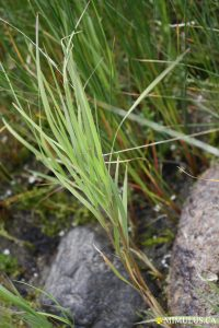 Seashore saltgrass (June)