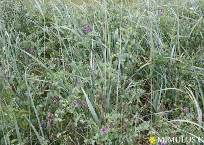 Lathyrus-japonicus-beach-pea-June-web