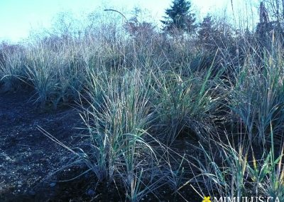 Leymus-mollis-dunegrass-November-web
