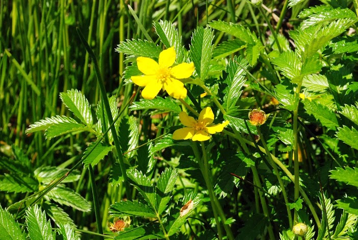 Common Silverweed