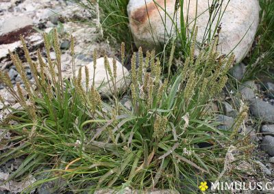 Plantago-maritima-sea-plaintain-June-web