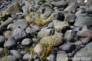 Dwarf alkali grass (June)