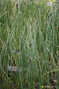 American bulrush (June)