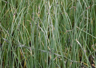 Shoenoplectus-pungens-American-bulrush-June-web