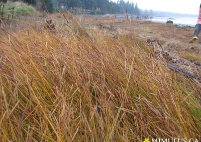 Spartina-patens-cordgrass-1-November-web