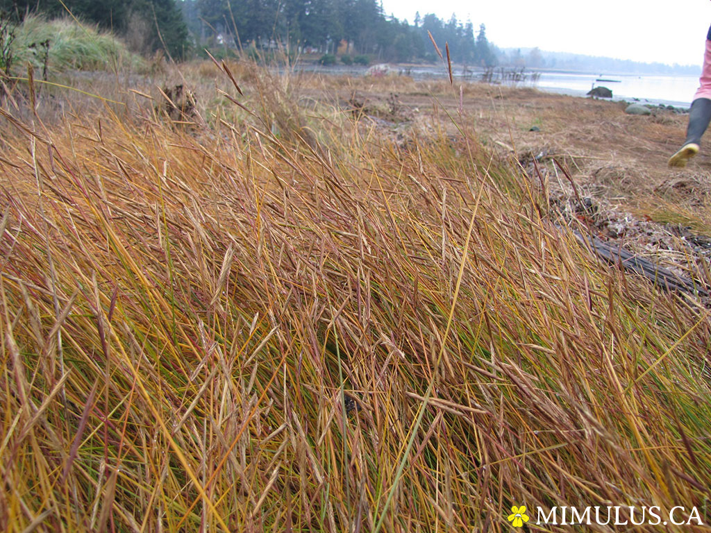 Saltmeadow cordgrass (November): introduced species