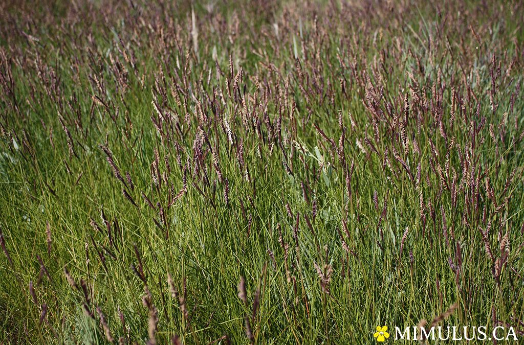 Saltmeadow cordgrass (August)